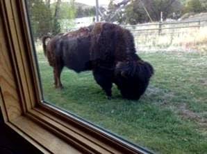 Bison through cabin window